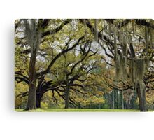 Oaks of St. Francisville Canvas Print