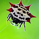 spiny-backed orbweaver by J.K. York
