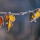 Frosty Leaves by Irina777