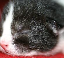 New born kitten sleeping by lifeinpixels