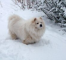 Samoyed in the snow by TeeJay