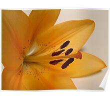 Asiatic Lilium Poster