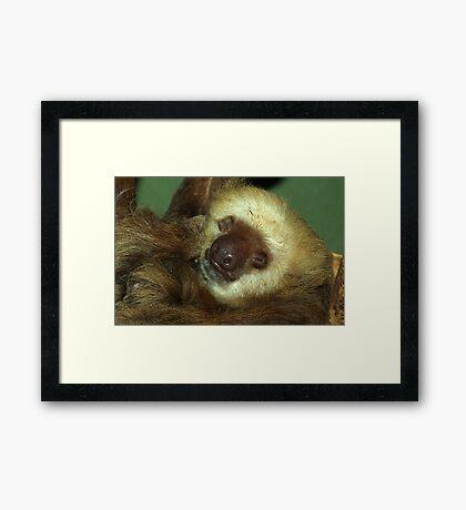 Sleeping Sloth. Framed Print