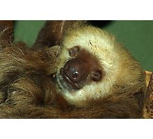 Sleeping Sloth. Photographic Print