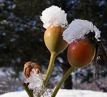 Rose Hips in Snow by Andy2302