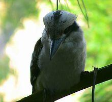 Kookaburra by lizey