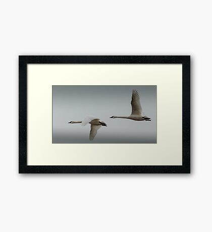 A pair of Tundra Swans crossing a winter sky Framed Print
