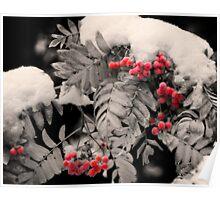 Mountain Ash [Sorbus sitchensis] Poster