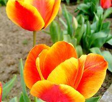 Two tulips by Ana Belaj