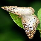 Butterfly #2 by glink