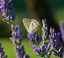 Lavender Moth by Paul Sims