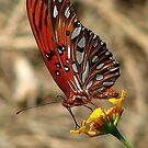 Butterfly by glink
