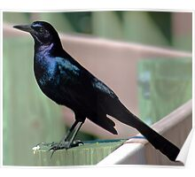 Male Grackle Poster