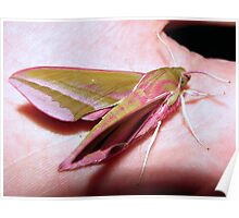 Elephant Hawk Moth 3 Poster
