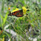 Newfoundland Summer Butterfly by Stephen Ryan