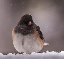 Dark-Eyed Junco in the snow by AgapeMn