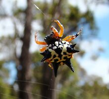 Christmas Spider by Coralie Plozza