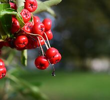 These Red Berries by joehenrywood