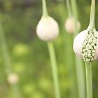 Allium about to flower by Alexh