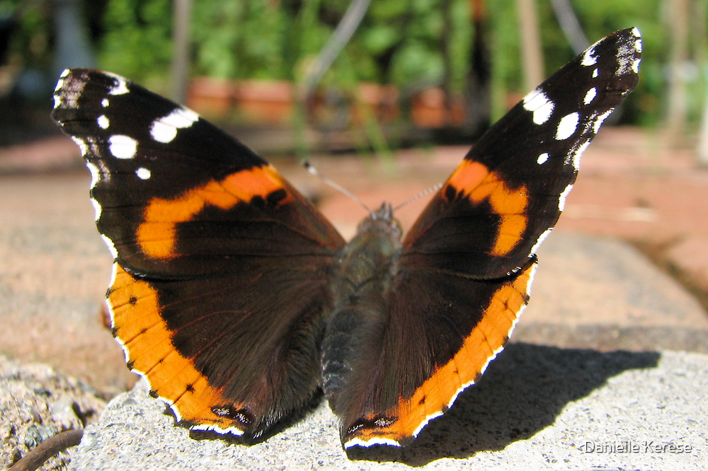 butterfly close up by Danielle Kerese