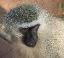 Monkey III by Wilhelm Kroon