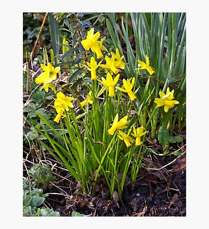 Tiny Narcissus A Photographic Print