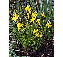 Tiny Narcissus B Photographic Print