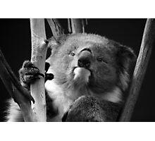 Koala 1 B&W Photographic Print