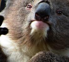 Koala 1 Sticker