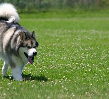 Alaskan Malamute on the run by Troy Mackaway
