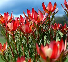 Protea flowers by Malcolm Garth