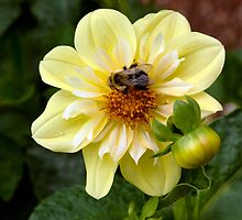 Yellow Dahlia 'Ferncliff Lemon Kiss' with Bee by Dency Kane