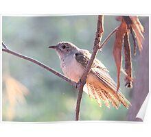 Brush Cuckoo  Poster