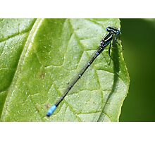 A Blue Damsel Photographic Print