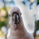 Sulphur Crested Cockatoo by petejsmith