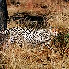 Prowling Cheetah by JaneRia