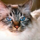 Birmese cat by douwe