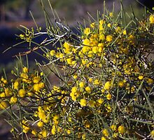 Wattle Bush by rachn