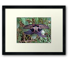 Mating butterflies  Framed Print
