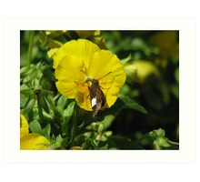 Butterfly on Pansy Art Print