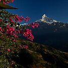 Bouganvillea Dawn by morealtitude