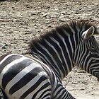 Zebra by Nicole Chambers