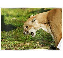 Florida Panther Growl Poster
