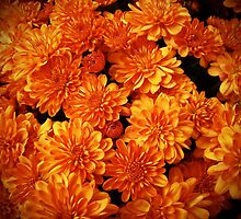 Toasted Orange Chrysanthemums by MotherNature