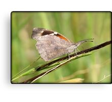 American Snout Butterfly Canvas Print