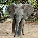 DON'T COME ANY CLOSER! -THE AFRICAN ELEPHANT – Loxodonta Africana by Magriet Meintjes