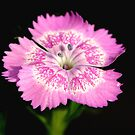 Dianthus by ~ Fir Mamat ~
