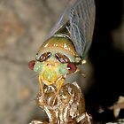 Cicada by bites