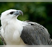 White Bellied Sea Eagle by Gayle Shaw