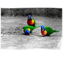 Rainbow Lorikeets  Mum Dad & Junior Poster